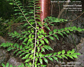 Photo: 2006 Young Fustic tree - Maclura tinctoria, Family: MORACEAE, Critically Endangered, in the Ironwood Forest, Grand Cayman. Photo: Ann Stafford, Nov. 13, 2006. Flora of the Cayman Islands, Proctor 2012 p.241, Fig.84.