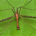Green-eyed crane fly