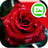 Roses Messenger Wallpaper