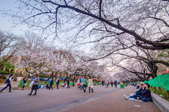 Photo: Cherry Blossoms blooming in March 2013 at Ueno Park, Tokyo