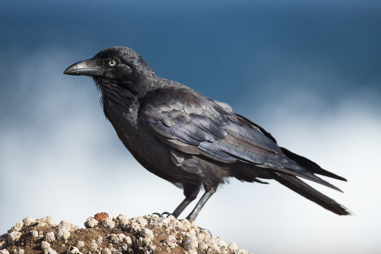 Crow standing on a stone / rock