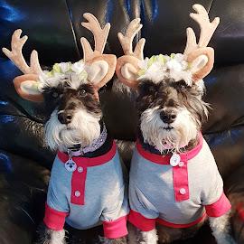 Naughty or nice..... by Wendy Bernhardt - Animals - Dogs Portraits ( #minischnauzer #xmasoutfits #cutedogs )