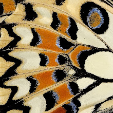Photo: Wing detail of a Lime Butterfly  #MacroMonday