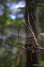 Photo: Hammock spider web