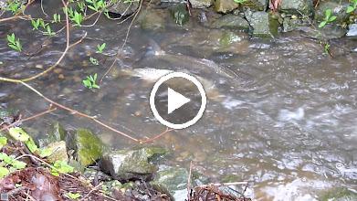 Video: Steelhead spawning in Oswald Creek.