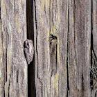 Pine Woods Tree Frog