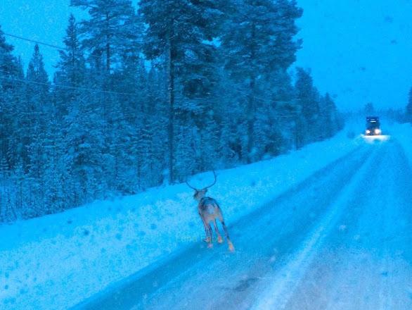 Photo: Rain deer on the road