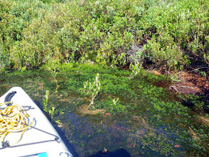 Photo: July 22, 2014. Position E. In cove close to launch site, aggregation of Common Waterweed. Refer to July 7th as well for aggregations on northern shores of the lake.