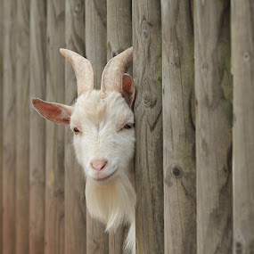 Hi Guys! by Eva Lechner - Animals Other Mammals ( fence, goat, funny, close-up, animal,  )