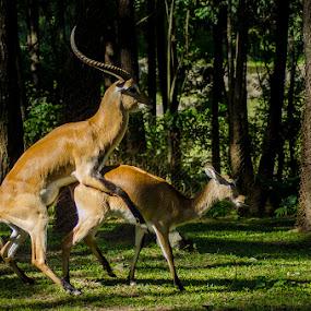 Coitus by Alfon Adalah Klepon - Animals Other Mammals (  )