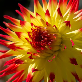 A Burst of Sunshine on a Dahlia by Janet Marsh - Flowers Single Flower ( orange, dalhia, yellow,  )