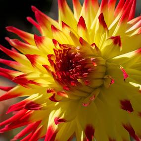 A Burst of Sunshine on a Dahlia by Janet Marsh - Flowers Single Flower ( orange, dalhia, yellow,  )