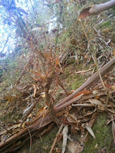 Photo: Re-sprouting french broom. See how the blue gum bark gets caught in the underbrush, adding both ground and ladder fuels.