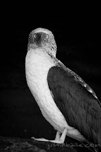 Photo: Portrait of Blue Footed Boobie in the Galapagos Islands, Ecuador.