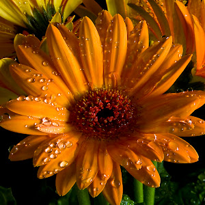 C:\Documents and Settings\Rod Schrader\Desktop\Pixoto\Orange Flowers.jpg