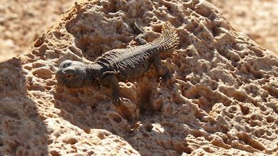 Photo: Uromastyx acanthinura (Uromastice acantinuro). Tunisia 1/2012