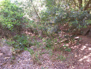 Photo: Bay saplings in the gully on the other side of the trail