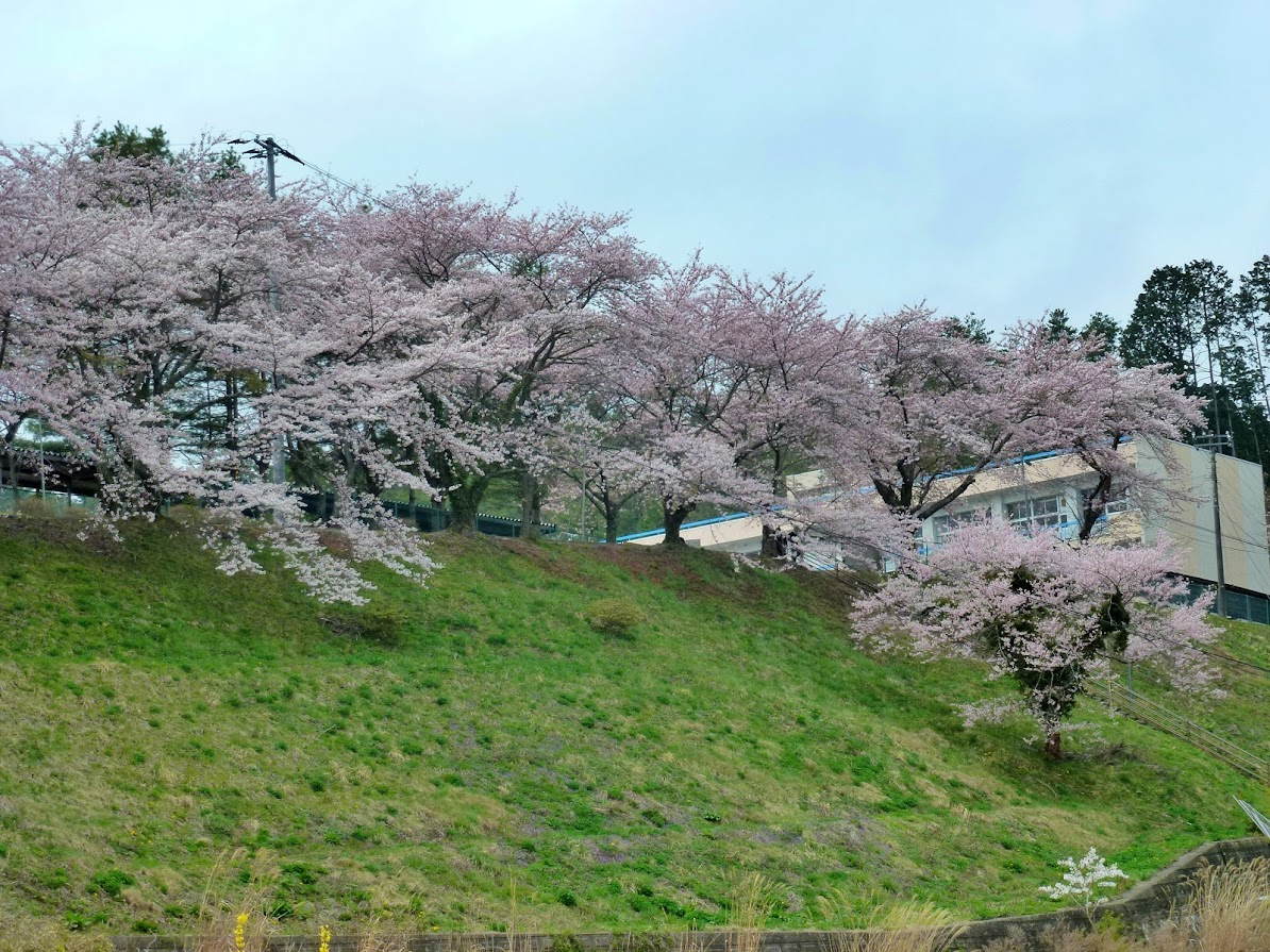 志津川高校の桜並木