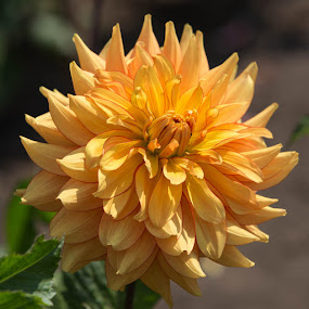 Yellow With Red Edge by Janet Marsh - Flowers Single Flower ( dahlia, yellow,  )