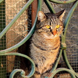 Chat de Burano by Gérard CHATENET - Animals - Cats Portraits
