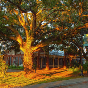 Magic Hour Oak Tree by Dave Walters - Buildings & Architecture Other Exteriors ( street scene, ocean springs, sony hx400v, sunset, ms., trees, colors )