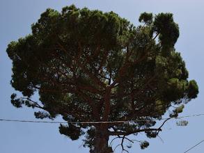 Photo: Pinus pinea
