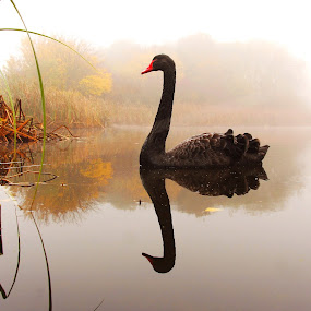 Black swan on a misty morning by Tony Walker - Animals Birds ( tranquil, grass, swan, misty, black, lake autumn )