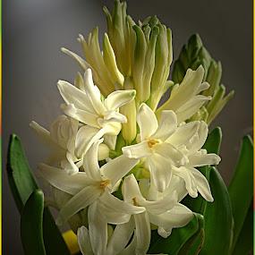 by Ilona Stefan - Flowers Flower Buds ( beautiful flower, white flower, green, spring )