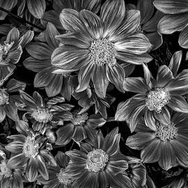 AYLI dahlia 67 43 bwv by Michael Moore - Black & White Flowers & Plants