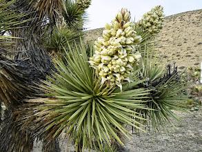 Photo: Yucca brevifolia - M. White