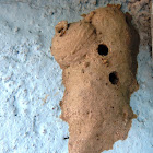 Mud-dauber Wasp nest