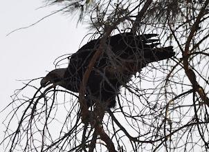 Photo: La poderosa águila imperial rompe una rama para su nido en Doñana. Me impactó el crack de la rama al partirse. Todavía hoy se me ponen los pelos de punta...