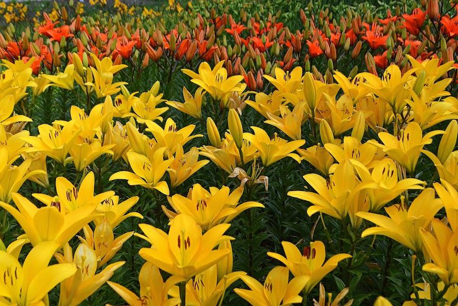 by Vida Jankaitiene - Flowers Flower Gardens