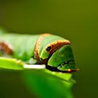 Common Lime Swallowtail Caterpillar