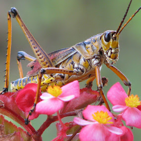 Begonia for lunch by Priscilla Renda McDaniel - Animals Insects & Spiders ( grasshopper, , Backyard, insects, reptiles, living creatures, green, colors, daily life )