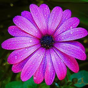 Daisy. by Dave  Horne - Flowers Single Flower