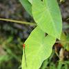 Pseudagrion pilidorsum ssp. declaratum