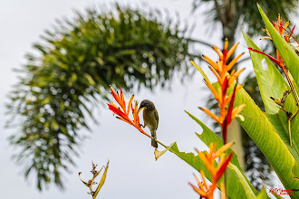 Photo: Sweet color withgrey-eared honeyeater (Lichmera incana)  #hqspbirds +102573236877435423752 curated by +114511010563829107443 +117470255785898056127 +112634252579159792714 and +107627368405270008153