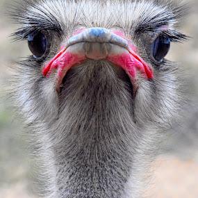 In Your Face by Dawn Hoehn Hagler - Animals Birds ( bird, cam verde, zoo, ostrich, arizona, out of africa,  )