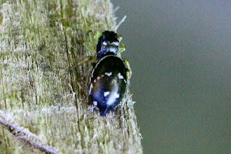 Photo: Heliophanus sp.   ARACHNIDA > Araneae > Salticidae