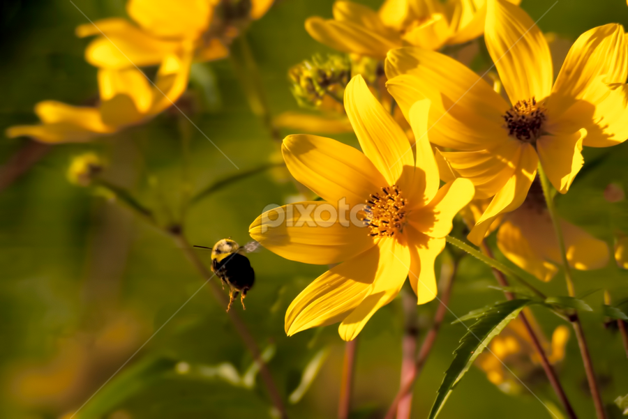 Bumble Bee by Frank Matlock II - Nature Up Close Flowers - 2011-2013 ( macro, bee, zoom, bumble, yellow, flowers, closeup )