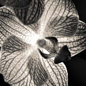 Back lit orchid by Patricia Konyha - Black & White Flowers & Plants ( macro class, flowers )