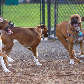 by Jim Jones - Animals - Dogs Playing ( boxer dog, dogs playing, dogs, dog playing, dog park )