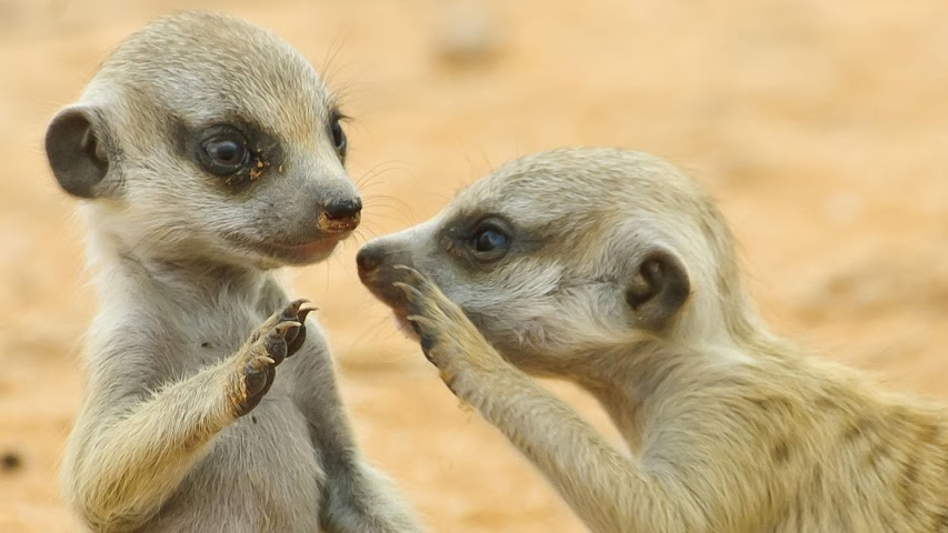 android Animals.Suricate.LiveWallpaper Screenshot 5