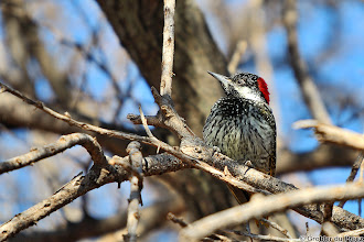 Photo: A male Golden-tailed Woodpecker (Afrikaans: Goudstertspeg) at the Haak en Steek Camp Site in the Mokala National Park, South Africa 1. #BirdPoker Looking Up curated by +Phil Armishaw 2. #birdloversworldwide +BIRD LOVERS Worldwide+Robert SKREINER+Walter Soestbergen 3. #hqspbirds +HQSP Birds curated by +Marina Versaci 4. #birdspecieslink  5. +10000 PHOTOGRAPHERS around the World 6. +PixelWorld