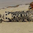 leopard moth or wood leopard moth