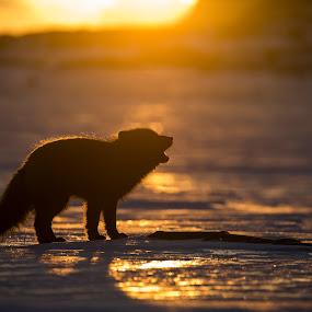 Calling in sunset by Jonas Petersen - Animals Other Mammals ( fox, arctic fox, sunset, shadow, wildlife, arctic, mammal, animal )