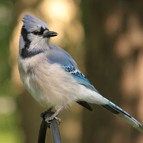 Blue Jay in the Morning by Nancy Daugherty - Animals Birds