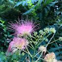 Mimosa tree blossom