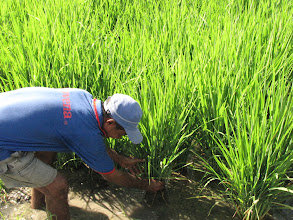 Photo: Valentino Pariera counts the number of tillers on an SRI plant in the Batu Gede Meliana District.  Shintanur SRI 50-60 tillers [Photo Courtesy of Iswandi Anas]